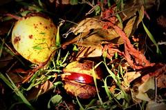 L'automne ! (Michel Craipeau) Tags: 2016 autonme canon chataigne composition coque craipeau craipeaumichel eos600d eosrebelt3i extrieur feuille france herbe marron michel nature octobre2016 sigma18250mmf63 macro automne