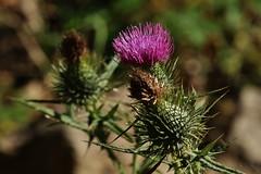 Wildblume (Hugo von Schreck) Tags: blume flower distel blte wildblume wildflower macro makro outdoor hugovonschreck canoneos5dsr tamron28300mmf3563divcpzda010 onlythebestofnature