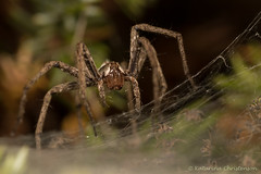 Woolf spider with babies (kasia-aus) Tags: 2016 aland finland babies bug europe macro nature spider travel trip web wildlife woolfspider