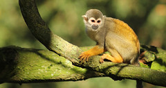 Squirrel monkey (Den Gilbert) Tags: monkey sqirrel sqirrelmonkey woburn safari park animals wildlife uk trees sun light photography colour nature