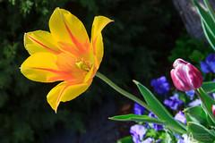 IMG_2451 (jo_asakura) Tags: flowers plants flower color nature colors utah spring ut tulips blossom tulip bloom april tulipfestival blooming thanksgivingpoint 2013