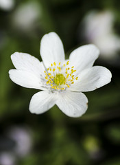 Wood Anemone (D600 Jim - Hoping to be back soon...) Tags: wood flower closeup landscape woods nikon anemone essex billericay norsey d7000