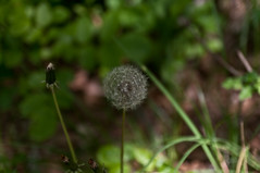 Taraxacum officinale (TheSpaceWalker) Tags: wild italy mountain tree nature trekking spring nikon italia karst dolina trieste carso d300 taraxacumofficinale valrosandra bagnoli dandelium carsismo sandorligodellavalle thespacewalker