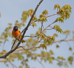 first oriole of spring (gerrybuckel) Tags: birds wings wildlife orioles absolutemichigan