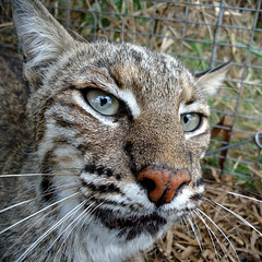 Florida bobcats (Animal Rangers) Tags: florida management bobcat trappers animalcontrol wildlifecontrol nuisancewildlife animalrangers