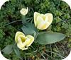 Green and Yellow .. (** Janets Photos **) Tags: uk flowers green yellow flora tulips takenwithlove lovelyflickr thegoldenachievement goldenachievement taknwithhardwork