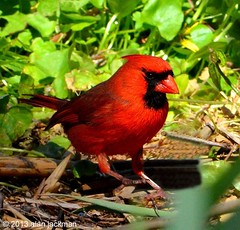 Northern Cardinal, Birds of John Heinz Wildlife Refuge (alan jackman) Tags: red bird cardinal wildlife wildliferefuge songbird northerncardinal johnheinzwildliferefuge d7000 tinicumwildliferefuge nikond7000 jackmanonjazz alanjackman