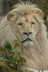 White lion - Afrikaanse witte leeuw (Berendje Photography1) Tags: africa wild white male animal king lion jungle wildanimal leeuw ouwehandsdierenpark animalphotography wildphotography afrikaanseleeuw ouwehandszoo flickrbigcats wilddier ouwehandszoorhenenthenetherlands