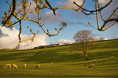 Sheep, shadows and sunset (Alan10eden) Tags: sunset tree green field grass canon spring sheep sigma lambs 1770 livestock grazing ulster paddock markethill countyarmagh 60d