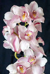 Orchid (Charlie Martono (busy)) Tags: orchid flower nature beautiful oslo norway athome flowerthequietbeauty