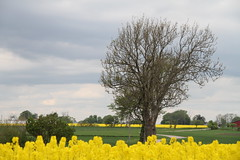 Yellow fields (Infomastern) Tags: yellow rape raps rapeseed