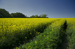 Two lines in oil field (realdelboy) Tags: blue green field yellow surrey oil rapeseed godstone davidtrotter