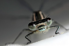 Azure damselfly closeup #1 (Lord V) Tags: macro bug insect azure damselfly