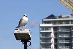 202/366 Good Neighbours (ruthlesscrab) Tags: seagull gull wah hereios werehere 366the2016edition 3662016 day202366 neighborhoodnaturalist 20jul16