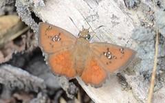 Pseudocoladenia (robertoguerra10) Tags: borboletas butterfly buterflies orange color cor laranja hesperiidae white spots lepidoptera pseudocoladenia pyrginae celaenorrhini