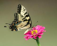 Eastern Swallowtail (Papilio polyxenes) - Explored (Gordon Magee) Tags: insect easternswallowtailpapiliopolyxenes butterfly southcarolinabotanicalgardens