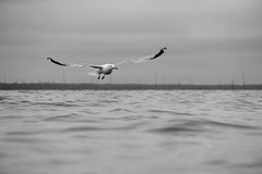 Seagull on the Bay (J.Bierwas) Tags: seagull seagulls bird flying flight water ocean waves sea beach vacation summer lbi long island new jersey canon t3i canont3i focus bay oceanview photography black white blackandwhite bw