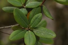 Rhododendron cinnabarinum Hook. f. (2) (siddarth.machado) Tags: rhododendron northsikkim himalayanflora 3000msl