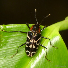 P1270030 (Ecuador Megadiverso) Tags: beetle coleoptera loscedros andreaskay ecuador