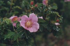Rosa 1, Angel's Rest 2016 (Sara J. Lynch) Tags: sara j lynch columbia river gorge pacific northwest oregon angels rest rosa rose native pink flower wildflower