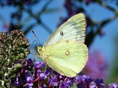 Clouded Sulphur IMG_5406 (Jennz World) Tags: jennifermlivick urquhartbutterflygarden dundas ontario canada cloudedsulphur butterfly sulphur