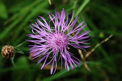 Wild Flower (Hugo von Schreck) Tags: hugovonschreck wild flower wildblume macro makro blume blte tamron28300mmf3563divcpzda010 canoneos5dsr onlythebestofnature