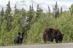 Bears in Yukon (oliverhummell) Tags: kanada nordamerika reisen yukon canada travel