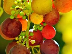 Weinbeeren grapes uva (zikade) Tags: weinbeere wein gegenlicht farben frchte weintraube rotetrauben makro hauswein