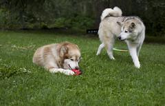 I'd like my toy back please... (wilderness_wanderer) Tags: malamute alaskanmalamute dog alberta