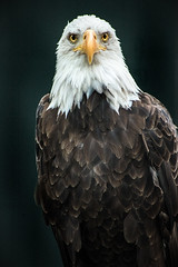 Eagle Look 3-0 F LR 8-14-16 J226 (sunspotimages) Tags: eagle baldeagle america american zoos zoosofnorthamerica zoo birds bird nature wildlife usa us