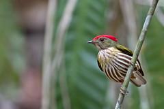 Eastern Striped Manakin - tangará-rajado - Machaeropterus regulus