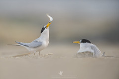 Delivery (Explored) (santosh_shanmuga) Tags: explored explore least tern delivery food parent mom dad chick baby cute bird birding aves wild wildlife nature animal outdoor outdoors nikon d3s 500mm nj new jersey shore beach sand newjersey jerseyshore