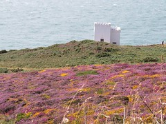 3256 Heather and gorse (Andy panomaniacanonymous) Tags: 20160808 cymru ellenstower fff flowers ggg gorse heather hhh ling lll ppp purple southstackrspb ulexeuropaeus uuu wales yellow yyy