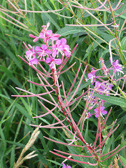 CopperRiver05 (alicia.garbelman) Tags: alaska copperriver wildflowers fireweed