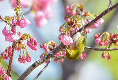 the nectar thief (Andy.N.) Tags: whiteeye bird almond tree spring outdoor flower