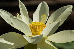 The light of the lotus (Irina1010_out for a while) Tags: flower lotus light white pond atlantabotanicalgarden nature canon ngc