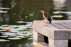 Before the Boys (brev99) Tags: greenheron bird highqualityanimals tamron70300vc d7100 photoshopelements12 nikdfine cement water pond grate