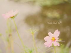 image (mi*kA*Ta) Tags:  flower
