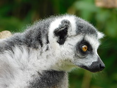 Ring-tailed Lemur (Deb Simpkins) Tags: ringtailed lemur animal nature fur eye ears nose face closeup whiskers whipsnade zoo zsl summer 2016 nikon coolpix l840 bedfordshire