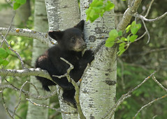 Black Bear Cub...#6 (Guy Lichter Photography - Thank you for 3M views) Tags: canon 5d3 canada manitoba wildlife animals mammal mammals bear bears blackbear cub