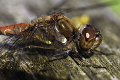 A Very Common Darter (me'nthedogs) Tags: dragonfly commondarter westhay somerset levels