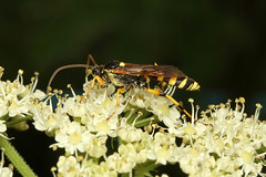 Ichneumon sp. (Wasp) - Guernsey (Nick Dean1) Tags: hymenoptera wasp insect insecta animalia arthropoda arthropod hexapoda hexapod guernsey channelislands greatbritain canon7d canon macro