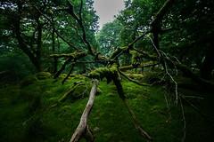 Green Spider (Costigano) Tags: green woods woodland forest moss nature tree fallen spider forestfloor branch outdoor