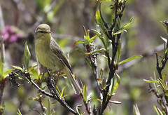 Alpine Leaf Warbler_16-06-07_Phylloscopus occisinensis