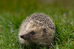 Hedgehog 'Who me?' (Sean's Wild About Wildlife) Tags: hedgeohg spinky prickly spines prickles hoggy hog mammal animal nocturnal night nightime garden wildlife nature