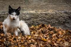 LETTO (Lace1952) Tags: gatto cat animale occhi sguardo colori foglie letto bianco nero colloro ossola vco piemonte italia nikond7100 nikkor18300vr