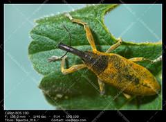 Snout beetle ( Lixus angustatus ) (__Viledevil__) Tags: little snout beetle lixus angustatus plant littlesnoutbeetlelixusangustatusonaplant