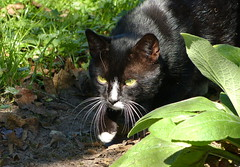 Butterfly hunting :) (joeke pieters) Tags: 1300179 panasonicdmcfz150 poes kat cat felixcatus katze chat