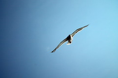 Seagull in the sky (mikhafff1984) Tags: background nature animal sky closeup isolated wings gliding fly many bird white feather wingspread soar up beak wingspan gull seabird wind high close motion beauty set various looking sea scene