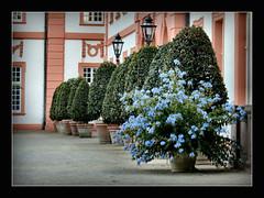 Bleiwurz - Plumbago auriculata (karin_b1966) Tags: blume flower blte blossom pflanze plant schlosshofbiebrichwiesbaden 2016 bleiwurzplumbagoauriculata yourbestoftoday